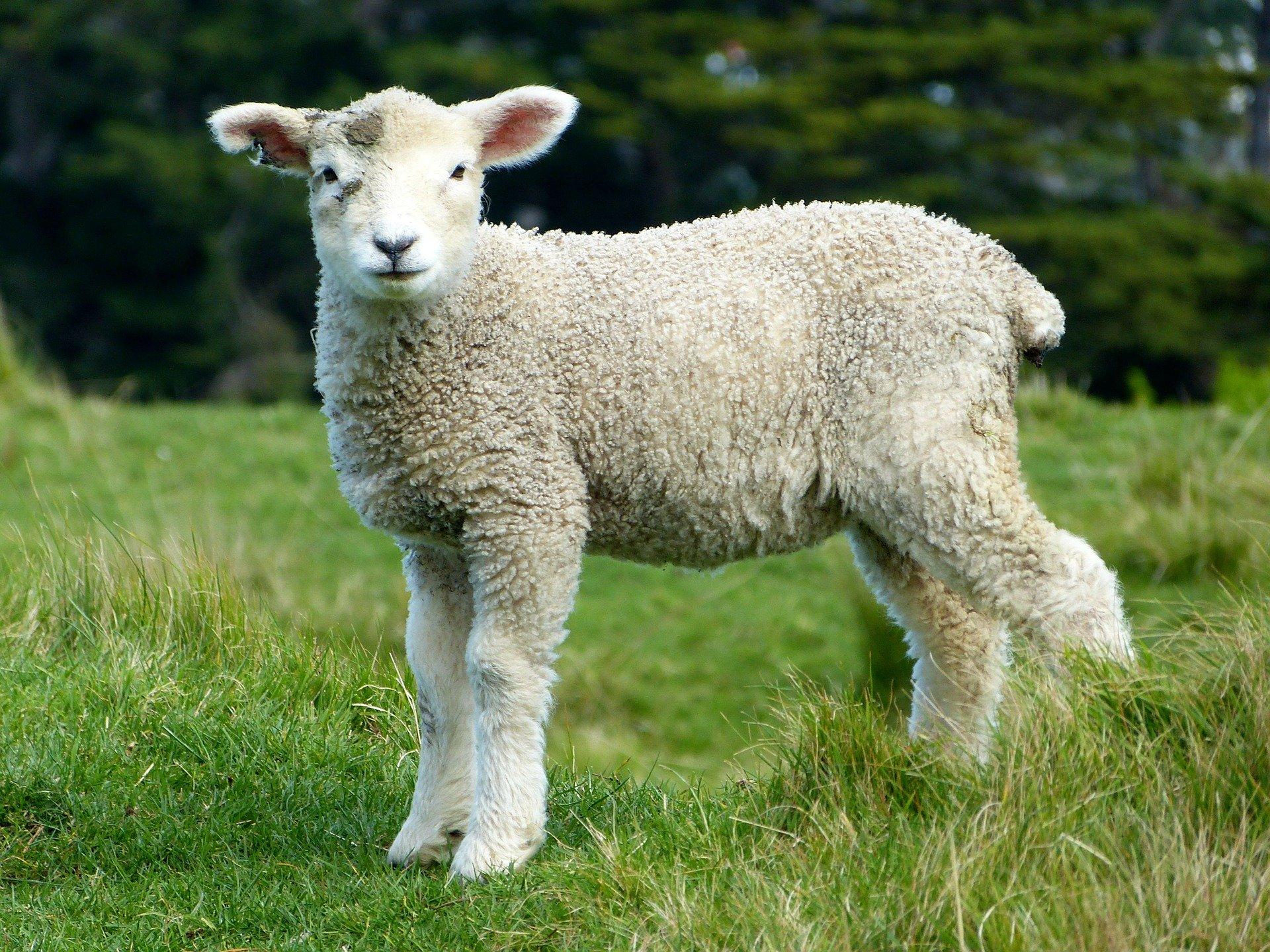Under the Good Shepherd